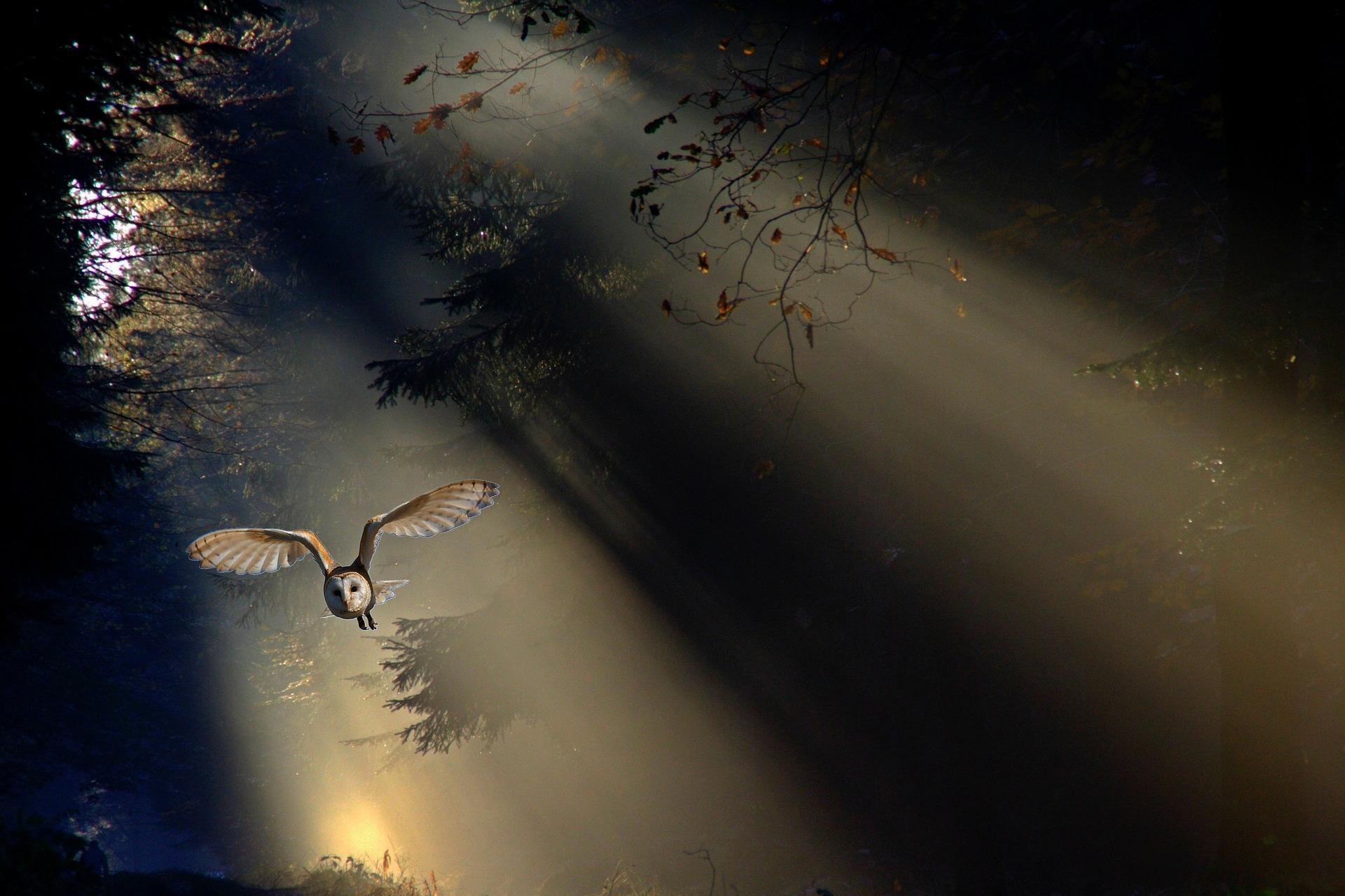 Sova pálená v letu v letu (zdroj: pixabay.com)